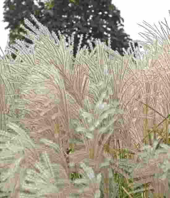 Miscanthus sinensis Graziella photo courtesy of Walters Gardens