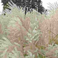 Miscanthus sinensis Graziella photo courtesy of Walters Gardens