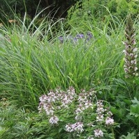Miscanthus strictus in Whitehouse Perennials Display Gardens