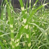 Miscanthus sinensis Zebrinus photo courtesy of Walters Gardens