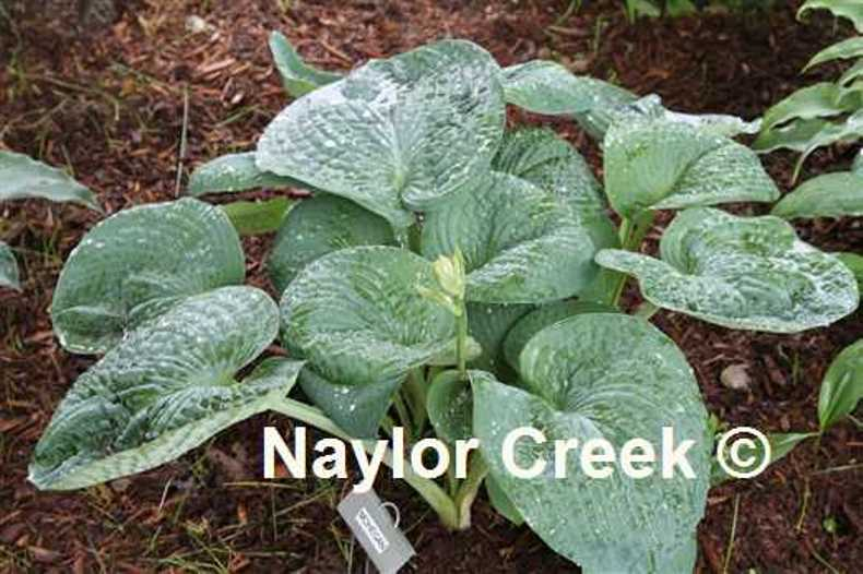 Hosta 'Mohegan' photo courtesy of Naylor Creek Nursery