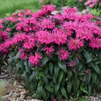 Photo of Monarda 'Berry Taffy' courtesy of Walters Gardens