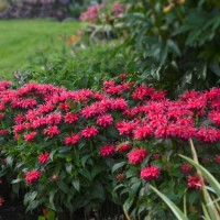 Monarda 'Cherry Pops' photo courtesy of Walters Gardens