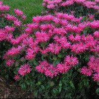 Monarda 'Electric Neon Pink' photo courtesy of Walters Gardens