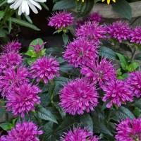 Monarda didyma 'Pardon My Purple' photo courtesy of Walters Gardens