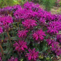 photo of Monarda 'Rockin Raspberry' courtesy of Walters Gardens