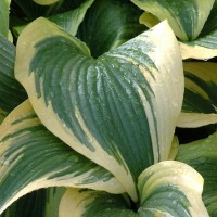 Hosta Montana Aureomarginata Photo courtesy of Walters Gardens