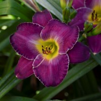 Daylily 'New Lavender Triumph' photo courtesy of Walters Gardens