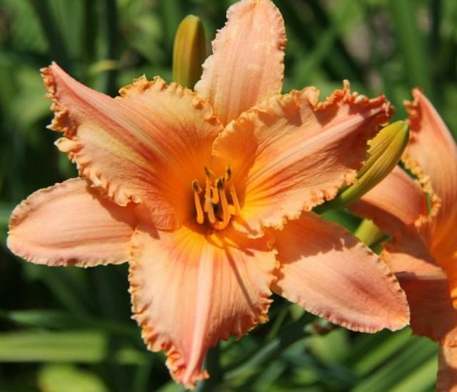 Daylily 'New Tangerine Twist' photo Whitehouse Perennials Nursery and Display Gardens