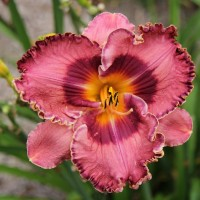 Daylily 'Nocturnal Butterfly' photo Whitehouse Perennials