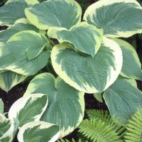 Hosta 'Northern Exposure' Photo courtesy of Walters Gardens