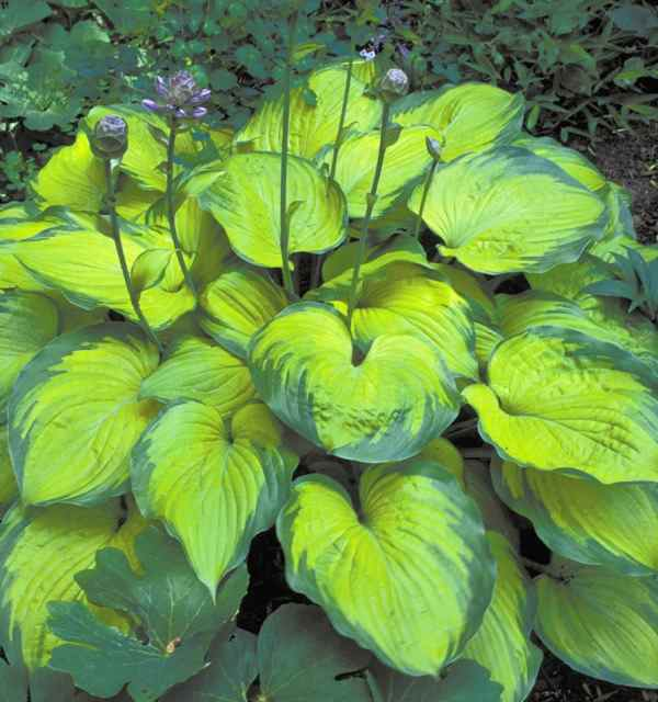 Hosta 'Old Glory' Photo courtesy of Walters Gardens