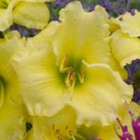 Daylily 'Omomuki' Photo courtesy of Walters Gardens