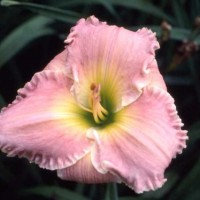 Daylily 'One Step Beyond'  Photo Whitehouse Perennials Nursery and Display Gardens