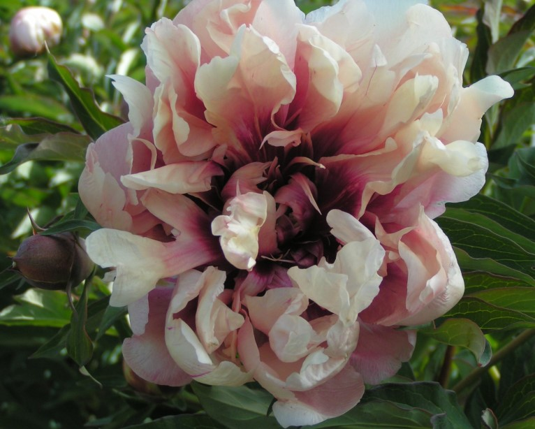 Peony 'Oochigeas' photo courtesy of Valleybrook Gardens