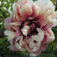Peony 'Oochigeas' photo courtesy of Valleybrook Gardens