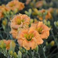 Daylily 'Orange Smoothie' photo courtesy of Walters Gardens