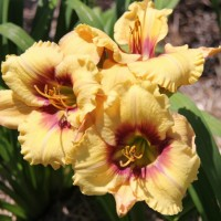 Daylily 'Ornamental Focus'  Photo Whitehouse Perennials Nursery and Display Gardens