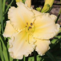 Daylily 'Ornate Ruffles' photo Whitehouse Nursery and Display Gardens
