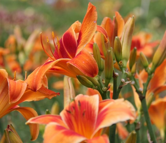 Daylily 'Outrageous' photo Suzanne Patry
