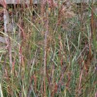 Panicum 'Blood Brothers' at Whitehouse Perennials Display Garden