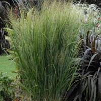 Panicum virgatum Northwind courtesy of Walters Gardens