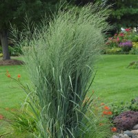 Panicum Prairie Winds 'Totem Pole'