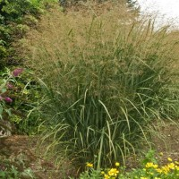 Panicum virgatum Thundercloud photo courtesy of Walters Gardens
