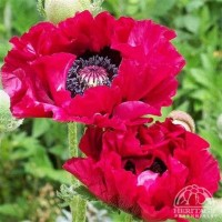 Papaver 'Harlem' photo courtesy of Valleybrook Gardens