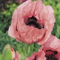 Papaver orientale 'Princess Victoria Louise' photo courtesy of Paridon Horticultural