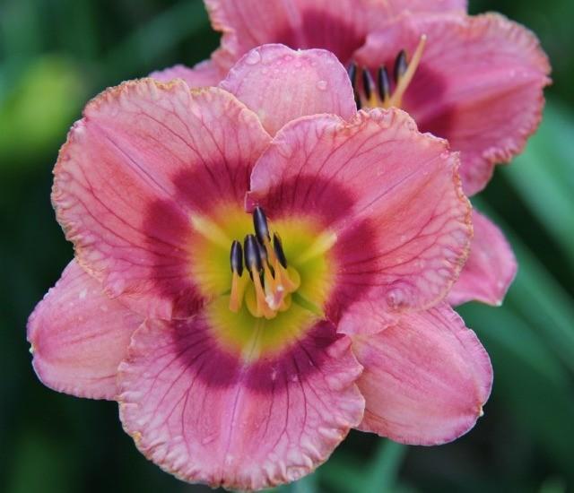 Daylily 'Pardon Me Boy' photo Whitehouse Perennials Nursery and Display Gardens