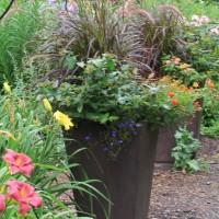 Pennisetum rubrum photo at Whitehouse Perennials