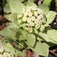 Petasites japonica flower in Whitehouse Display Garden