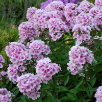 Phlox paniculata 'Bright Eyes' photo courtesy of Walters Gardens