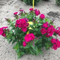 Phlox Bambini 'Cherry Crush' photo courtesy of Growing Colors