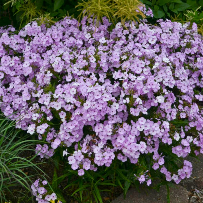 Phlox 'Opening Act Blush' photo courtesy of Walters Gardens