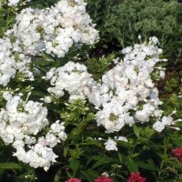 Phlox paniculata 'David' photo courtesy of Walters Gardens