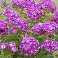 Phlox paniculata 'Laura' photo courtesy of Walters Gardens