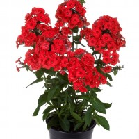 Phlox 'Red Flame' photo courtesy of Dummen Orange