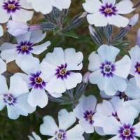 Phlox subulata 'North Hills' photo courtesy of Walters Gardens