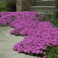 Phlox subulata 'Red Wing' photo courtesy of Walters Gardens