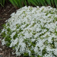 Phlox subulata 'Snowflake' photo courtesy of Walters Gardens