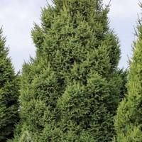 Picea abies 'Clanbrassiliana Stricta' photo courtesy of Iseli Nursery