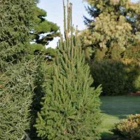 Picea abies 'Cupressina' photo courtesy of Iseli Nursery