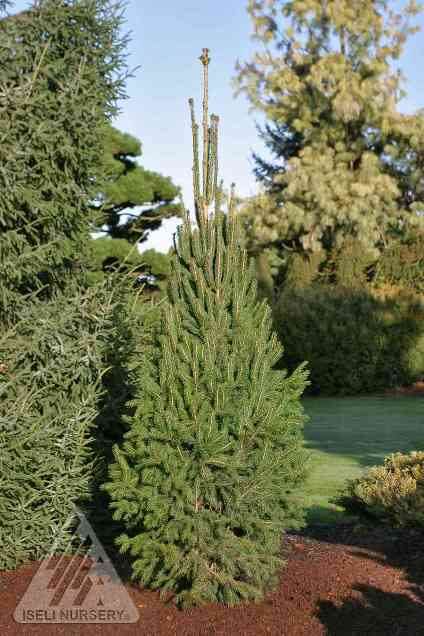Picea abies 'Cupressina' photo courtesy of Iseli Nursery