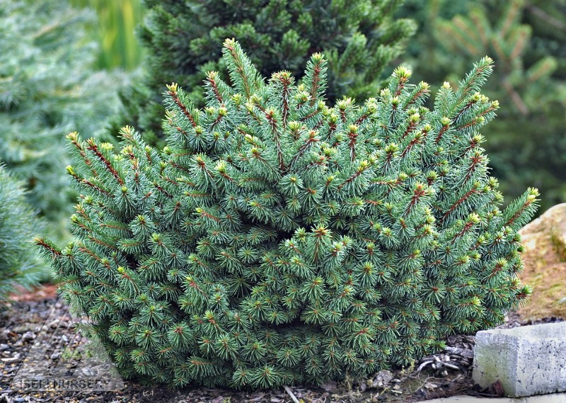 Picea abies 'Lanham's Beehive' photo courtesy of Iseli Nursery