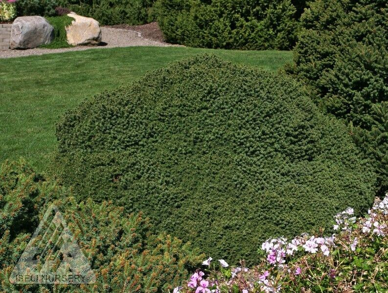 Picea abies 'Little Gem' photo courtesy of Iseli Nursery