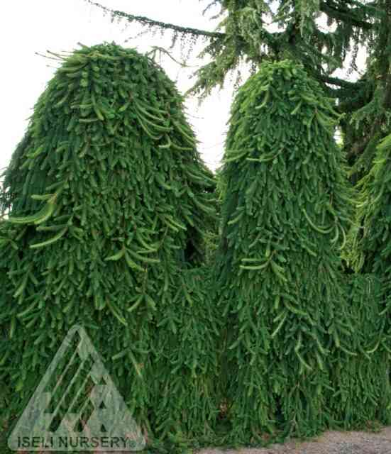 Picea abies Pendula