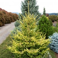 Picea abies 'The Limey' photo courtesy of Iseli Nursery