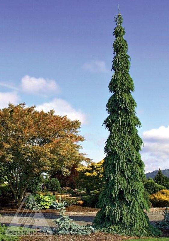 Picea glauca pendula photo courtesy of Iseli Nursery
